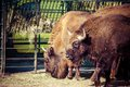 Herd of american bison bison bison or buffalo Royalty Free Stock Photos