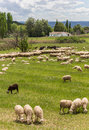 Herd of andalusian sheep grazing in a green meadow Stock Photos