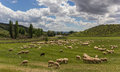 Herd of andalusian sheep grazing in a green meadow Royalty Free Stock Photography