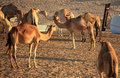Herd of Arabian camel Stock Image