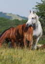Herd of arabian horses Royalty Free Stock Photos