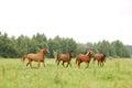 Herd of arabian horses running on pasture the Stock Photos
