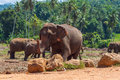 Herd of Asian elephants in the jungle. Royalty Free Stock Photo