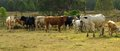 Herd of australian beef cattle panarama Stock Photography
