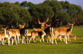Herd of Axis Deer Royalty Free Stock Images