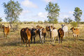 Herd of Brahman Cattle in Outback Queensland Stock Photos