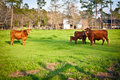 Herd of Brown Cows Royalty Free Stock Photos
