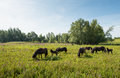 Herd of brown horses grazing in wild nature Royalty Free Stock Photo