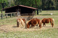 Herd of brown ponies feeding on hay gathered around a metal trough in a grassy pasture with a wooden barn behind Stock Image