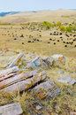 Herd of Buffalo or Bison Royalty Free Stock Photo