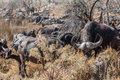 Herd of Buffalo Royalty Free Stock Photo