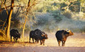 Herd of buffaloes Stock Images
