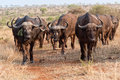 Herd of buffaloes at kruger Royalty Free Stock Photo
