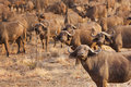 Herd of buffaloes in Kruger National Park in South Africa Royalty Free Stock Photo