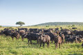 Herd of buffaloes. Royalty Free Stock Photo