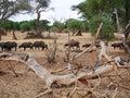 A herd of buffaloes on safari in Tarangiri-Ngorongor Royalty Free Stock Photo