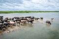 Herd  buffaloes Royalty Free Stock Photo