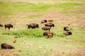 Herd of buffaloes with their little once Royalty Free Stock Photo