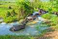 Herd of buffaloes in water Royalty Free Stock Photo
