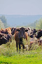 Herd of cattle in the meadow a against sky and forest Stock Photo