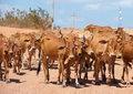 Herd cattle red lean cows cross road Stock Photos