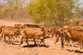 Herd of cattle red lean cows move in dust clouds Royalty Free Stock Photo