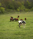 Herd of the cows Royalty Free Stock Photos