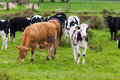 Herd of cows. Cows on a green field. cows on meadow Royalty Free Stock Photo