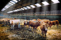 Herd of cows in cowshed young Stock Photo