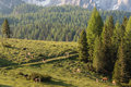 Herd of cows grazing on alpine meadow in dolomites Stock Photography