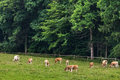 A herd of cows grazing and resting on pasture Royalty Free Stock Photo