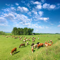 Herd of cows grazing in a sunny morning Royalty Free Stock Images