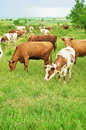 Herd of cows on a green meadow farmer grazing Stock Photos