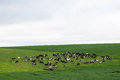 Herd of cows on green pasture Royalty Free Stock Photo