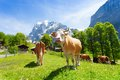 Herd of cows on green pasture on summer day with snow mountains on background Royalty Free Stock Photo