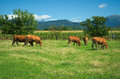 Herd of cows on pasture Royalty Free Stock Photo