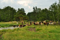 Herd of cows walking in the field go on forest Royalty Free Stock Images