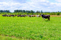 Herd of cows walks on the field Royalty Free Stock Photo