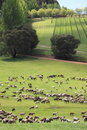 Herd of cows in Western Australia Stock Photo