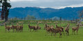 Herd of deer some keeping together on this farmland Royalty Free Stock Photography