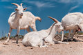 A herd of domestic goats crimea ukraine Royalty Free Stock Images