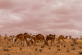 Herd of dromedary camel at the tunisian desert Royalty Free Stock Photos