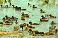 Herd of ducks in basin on the rice field Stock Photography