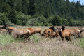 Herd of elk adults and calfs in humboldt county ca with surrounded by Stock Photography