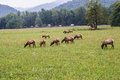 Herd of Elk in the Great Smoky Mountains Royalty Free Stock Photo