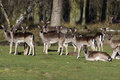 Herd of fallow deer resting on a green meadow near the forest in early spring germany europe Stock Photography