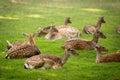 Herd of Fallow Deers (lat. dama dama) on a meadow Royalty Free Stock Photo