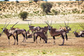 Herd of gemsbok a standing in the sun waiting to drink water Royalty Free Stock Photos