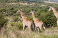 Herd of Giraffes Stock Photography