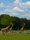 Herd of giraffes Stock Image